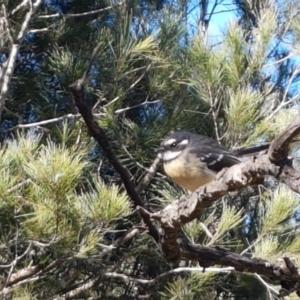 Rhipidura albiscapa at Pomaderris Nature Reserve - 12 Apr 2021