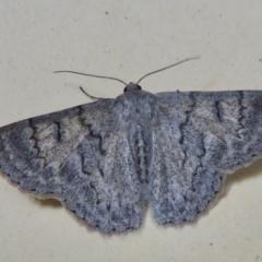 Crypsiphona ocultaria (Red-lined Looper Moth) at Rugosa at Yass River - 10 Apr 2021 by SenexRugosus