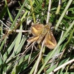 Ocybadistes walkeri (TBC) at Pomaderris Nature Reserve - 12 Apr 2021 by tpreston