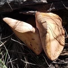 zz bolete at Pomaderris Nature Reserve - 12 Apr 2021 by tpreston