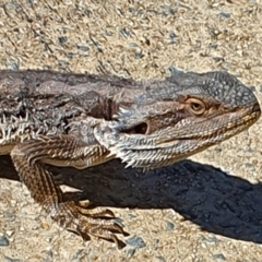 Pogona barbata (Eastern Bearded Dragon) at Pine Island to Point Hut - 12 Apr 2021 by ChrisHolder