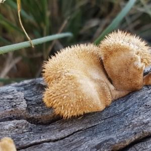 Lentinus fasciatus at Pomaderris Nature Reserve - 12 Apr 2021