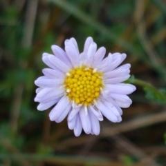 Calotis cuneifolia (Purple Burr-daisy) at Pomaderris Nature Reserve - 11 Apr 2021 by tpreston