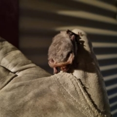 Nyctophilus sp. (genus) (A long-eared bat) at Yass River, NSW - 12 Apr 2021 by 120Acres