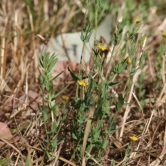 Hypericum gramineum (Small St Johns Wort) at Wodonga - 12 Dec 2020 by Kyliegw