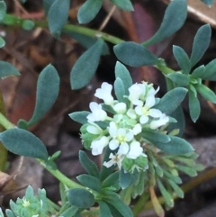 Poranthera microphylla (Poranthera) at Mount Ainslie - 11 Apr 2021 by JaneR