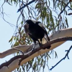 Gymnorhina tibicen (Australian Magpie) at Jerrabomberra, NSW - 12 Apr 2021 by RodDeb