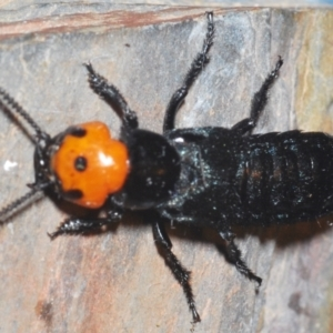 Unidentified Other beetle (TBC) at suppressed by Harrisi