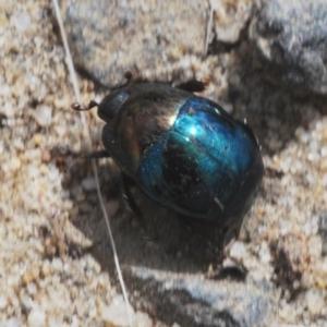 Saprinus (genus) (Metallic clown beetle) at Morton National Park by Harrisi