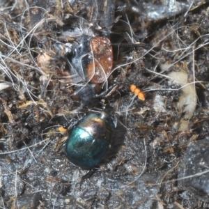 Saprinus (genus) at Morton National Park - 11 Apr 2021