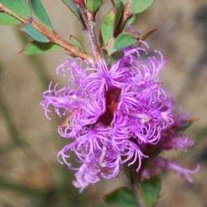 Melaleuca thymifolia (Thyme honey-myrtle) at Morton National Park by Harrisi