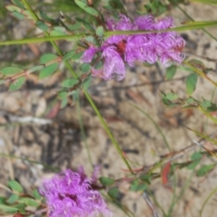 Melaleuca thymifolia at Morton National Park - 11 Apr 2021
