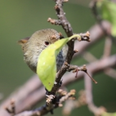 Acanthiza pusilla (Brown Thornbill) at Jerrabomberra, NSW - 12 Apr 2021 by RodDeb