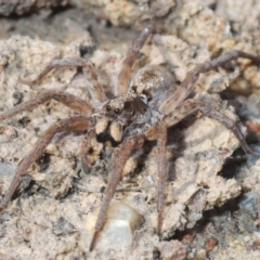 LYCOSIDAE (TBC) at Tianjara, NSW - 11 Apr 2021 by Harrisi