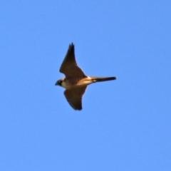 Falco longipennis (Australian Hobby) at Jerrabomberra, NSW - 12 Apr 2021 by RodDeb