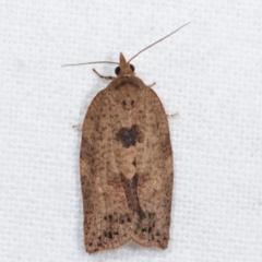 Epiphyas postvittana (Light Brown Apple Moth) at Melba, ACT - 6 Apr 2021 by kasiaaus