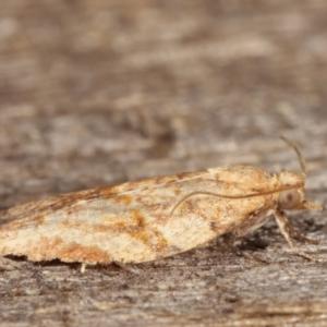 Epiphyas ashworthana at Melba, ACT - 7 Apr 2021