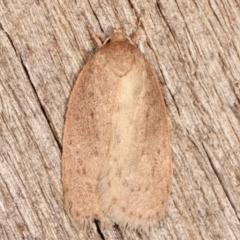 Garrha (genus) (A concealer moth) at Melba, ACT - 7 Apr 2021 by kasiaaus