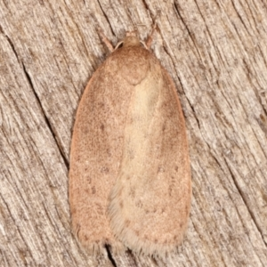 Garrha (genus) at Melba, ACT - 7 Apr 2021