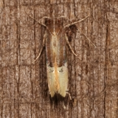 Labdia deliciosella (A Cosmet moth) at Melba, ACT - 7 Apr 2021 by kasiaaus