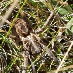 Tasmanicosa godeffroyi (Garden Wolf Spider) at Lyneham, ACT - 13 Apr 2021 by tpreston
