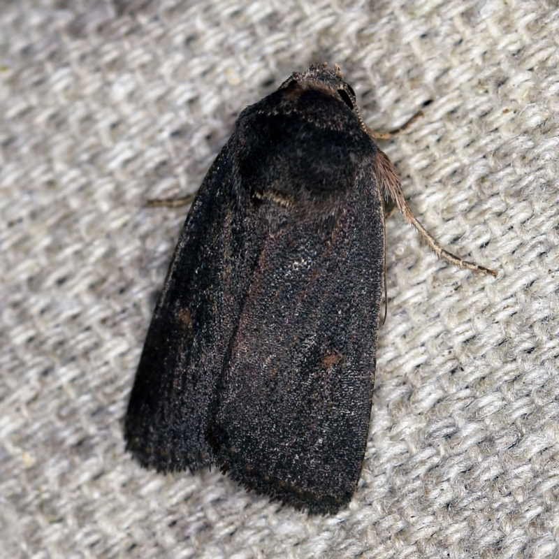 Proteuxoa (genus) at O'Connor, ACT - 5 Apr 2021