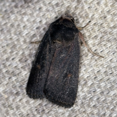 Proteuxoa (genus) (A Noctuid Moth) at O'Connor, ACT - 5 Apr 2021 by ibaird