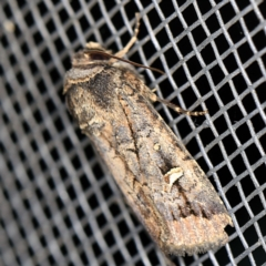 Proteuxoa microspila (Little Noctuid) at O'Connor, ACT - 5 Apr 2021 by ibaird