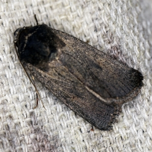 Proteuxoa undescribed species MoV 21 at O'Connor, ACT - 5 Apr 2021
