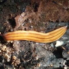 Anzoplana trilineata (A Flatworm) at Stromlo, ACT - 13 Apr 2021 by tpreston