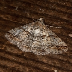 Gastrinodes bitaeniaria (Buff Bark Moth) at Melba, ACT - 25 Mar 2021 by Bron