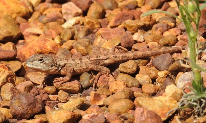 Amphibolurus muricatus at ANBG - 13 Apr 2021
