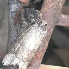 Meritastis lythrodana (A tortrix or leafroller moth) at Dryandra St Woodland - 13 Apr 2021 by Ned_Johnston