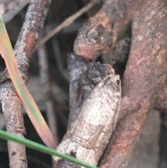 Meritastis lythrodana at Dryandra St Woodland - 13 Apr 2021