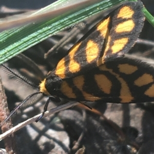 Asura lydia at Dryandra St Woodland - 13 Apr 2021