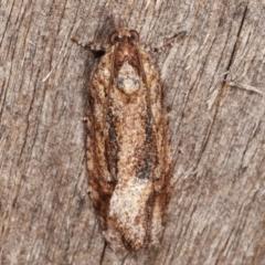 Thrincophora lignigerana (A Tortricid moth) at Melba, ACT - 7 Apr 2021 by kasiaaus