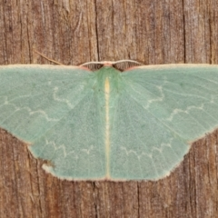 Chlorocoma dichloraria (Doubled-fringed or Guenee's Emerald) at Melba, ACT - 7 Apr 2021 by kasiaaus