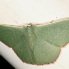 Prasinocyma semicrocea (Common Gum Emerald) at Melba, ACT - 7 Apr 2021 by kasiaaus