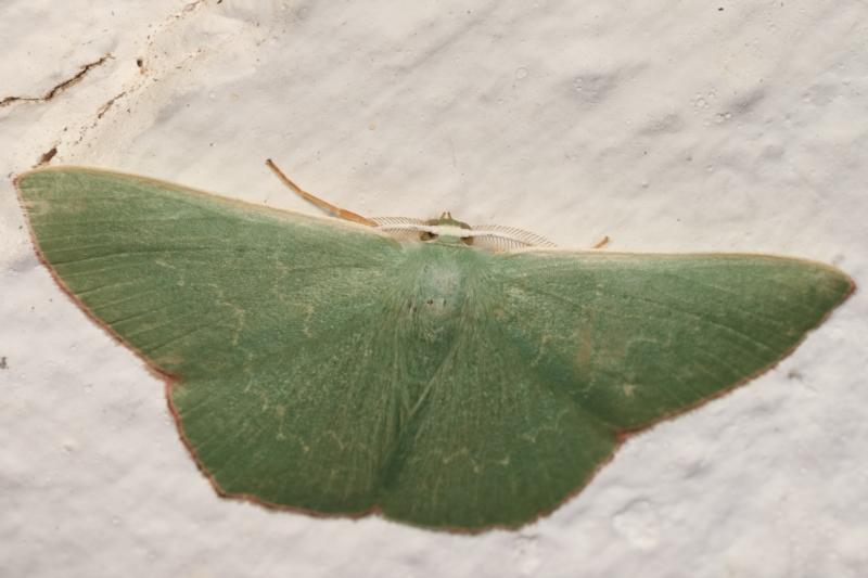 Prasinocyma semicrocea at Melba, ACT - 8 Apr 2021