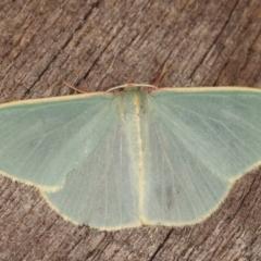 Chlorocoma assimilis (Golden-fringed Emerald Moth) at Melba, ACT - 8 Apr 2021 by kasiaaus