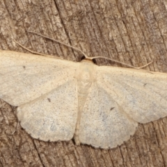 Scopula optivata (Varied Wave) at Melba, ACT - 7 Apr 2021 by kasiaaus
