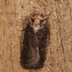 Proteuxoa provisional species 2 (A Noctuid moth) at Melba, ACT - 8 Apr 2021 by kasiaaus