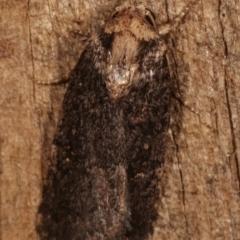 Proteuxoa provisional species 2 at Melba, ACT - 8 Apr 2021