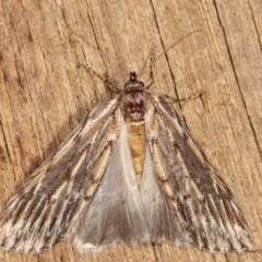 Ciampa arietaria (Brown Pasture Looper Moth) at Melba, ACT - 8 Apr 2021 by kasiaaus