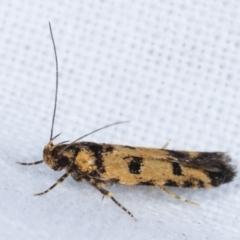 Hemiarcha thermochroa at Melba, ACT - 8 Apr 2021