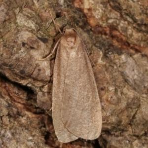 Threnosia myochroa at Melba, ACT - 8 Apr 2021