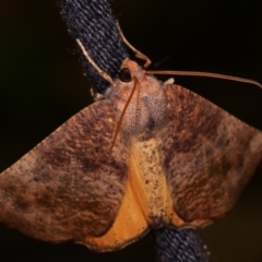 Mnesampela privata (Autumn Gum Moth) at Melba, ACT - 8 Apr 2021 by kasiaaus