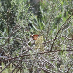 Danaus petilia (Lesser wanderer) at O'Connor, ACT - 13 Feb 2021 by ConBoekel