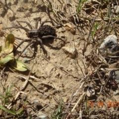 Tasmanicosa sp. (genus) (Unidentified Tasmanicosa wolf spider) at Coree, ACT - 13 Apr 2021 by GirtsO