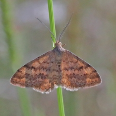Scopula rubraria (Reddish Wave) at Dryandra St Woodland - 27 Mar 2021 by ConBoekel